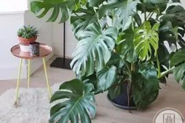 别墅装修 ▎首选八大绿植,你了解了吗?